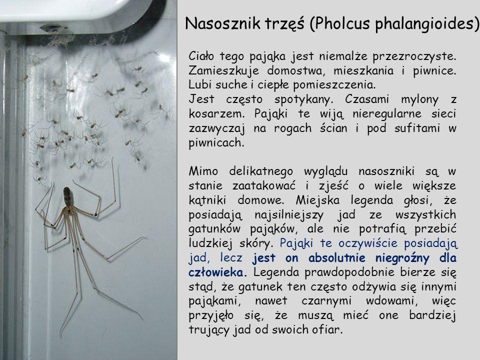 Nasosznik trzęś (Pholcus phalangioides)