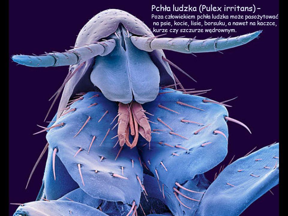 Pchła ludzka (Pulex irritans) –