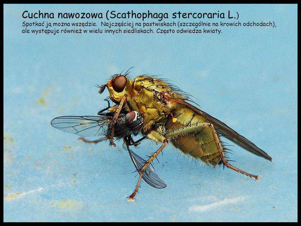 Cuchna nawozowa (Scathophaga stercoraria L.)