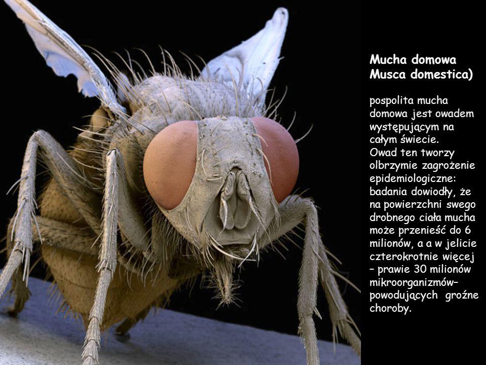 Mucha domowa Musca domestica)