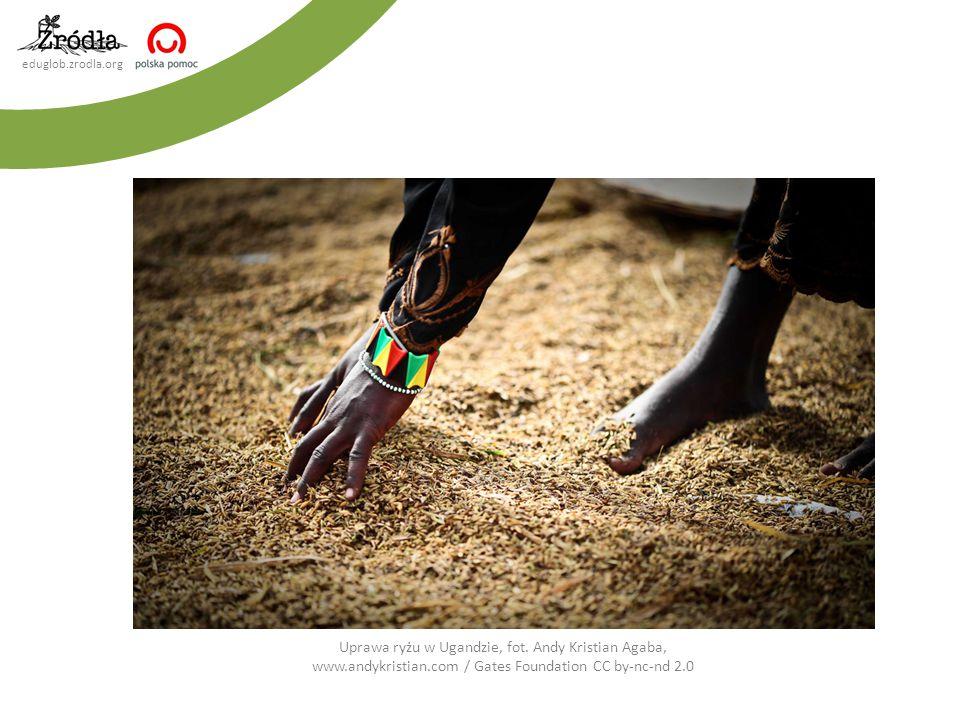 Uprawa ryżu w Ugandzie, fot. Andy Kristian Agaba, www. andykristian