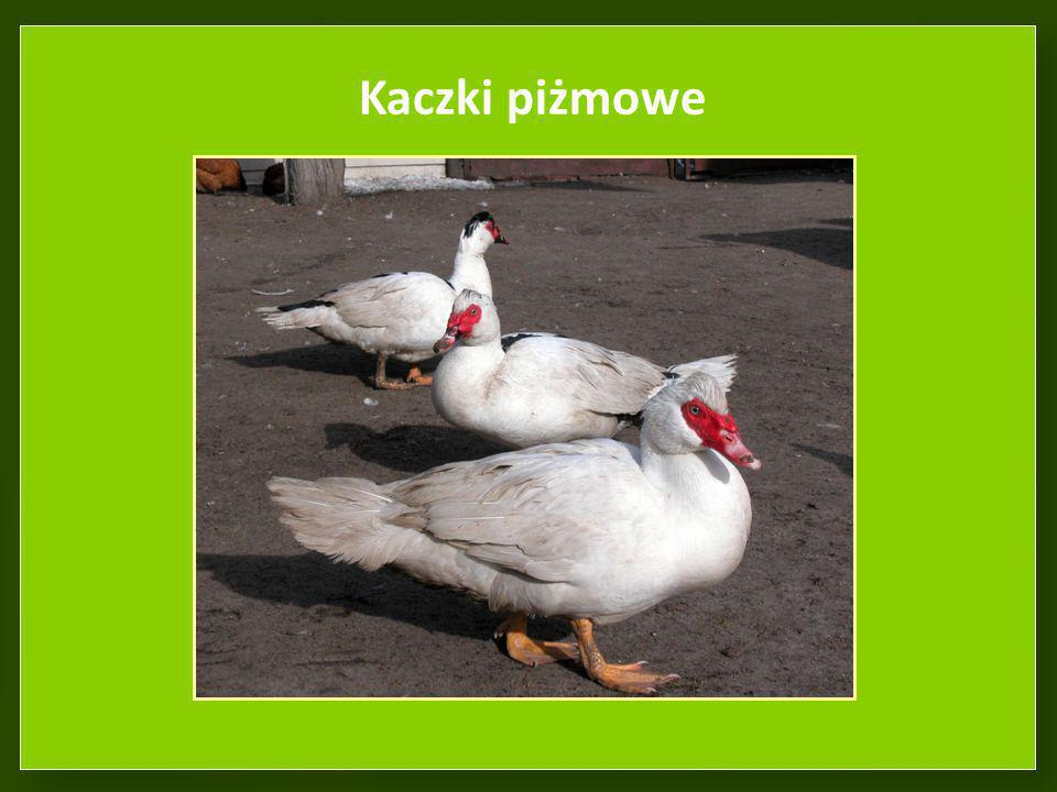 Kaczki piżmowe W hodowli rozpowszechnione są kaczki piżmowe odmiany białej, pstrej i czarnej. 12