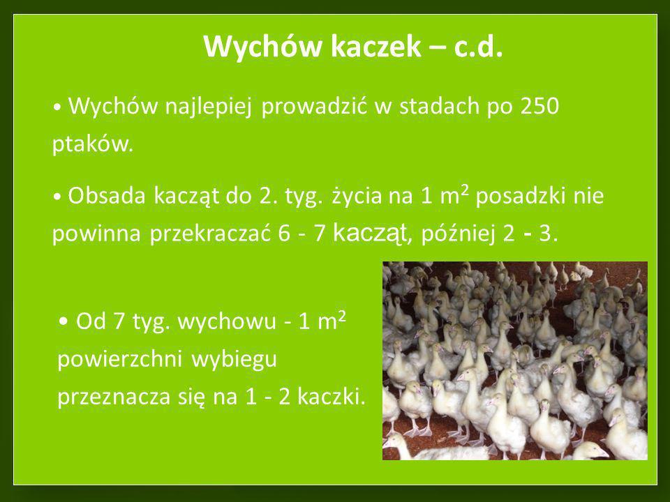 Wychów kaczek – c.d. Wychów najlepiej prowadzić w stadach po 250 ptaków.