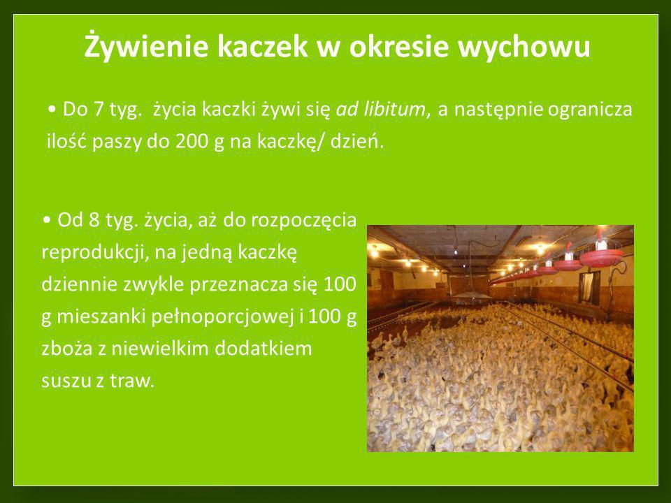 Żywienie kaczek w okresie wychowu