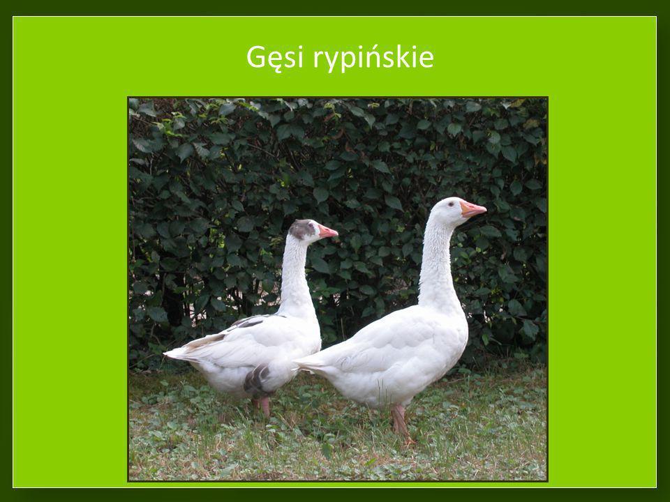 Gęsi rypińskie Odmiana regionalna północna. 26