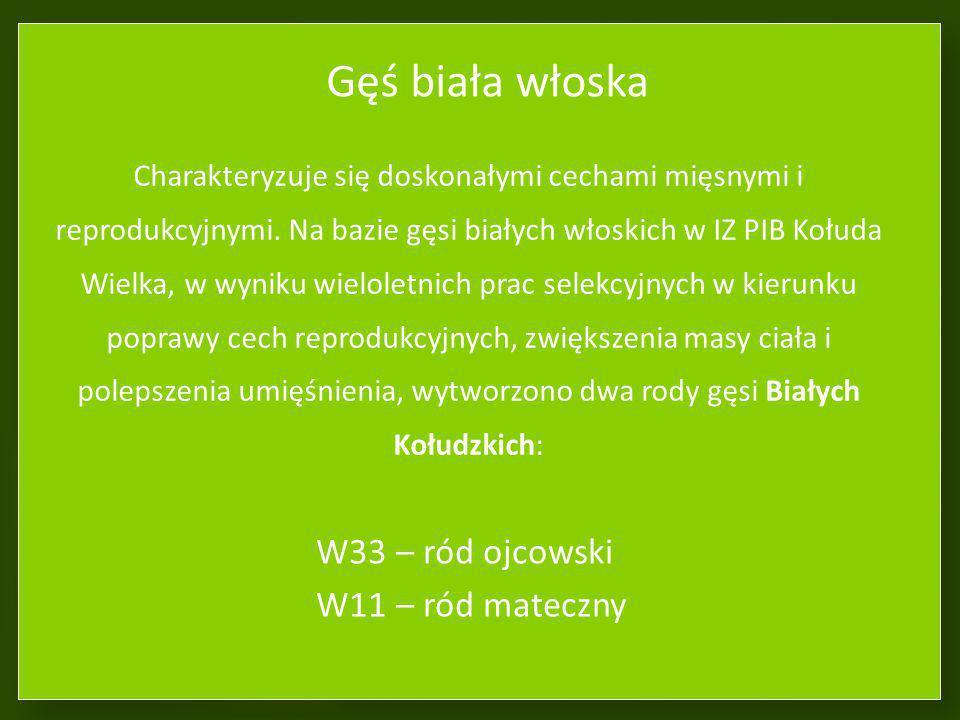 Gęś biała włoska W33 – ród ojcowski W11 – ród mateczny