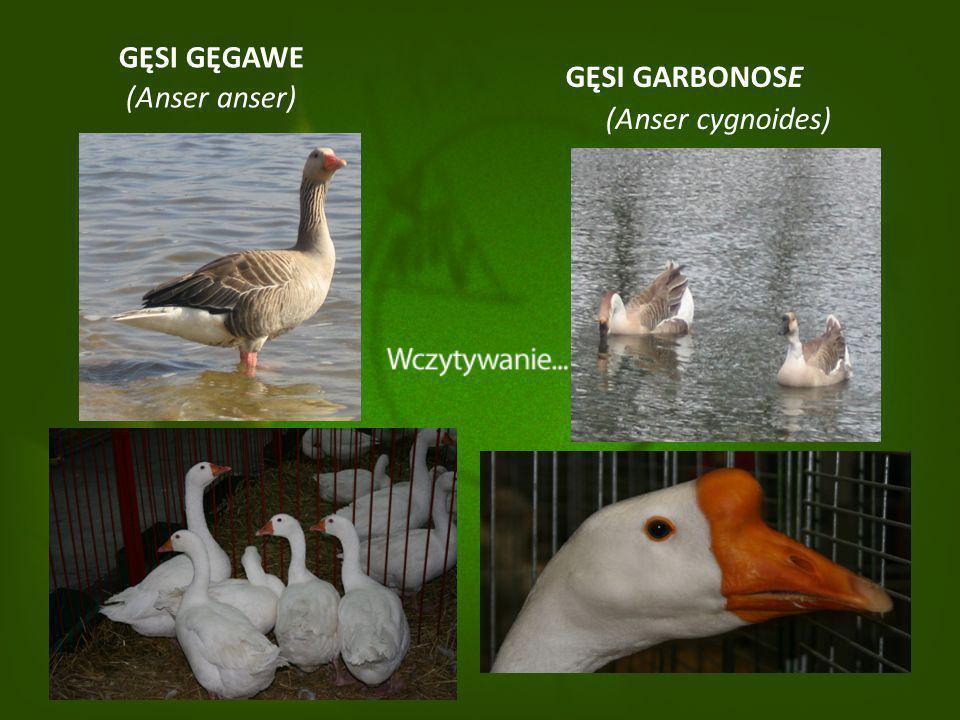 GĘSI GĘGAWE (Anser anser) GĘSI GARBONOSE (Anser cygnoides)