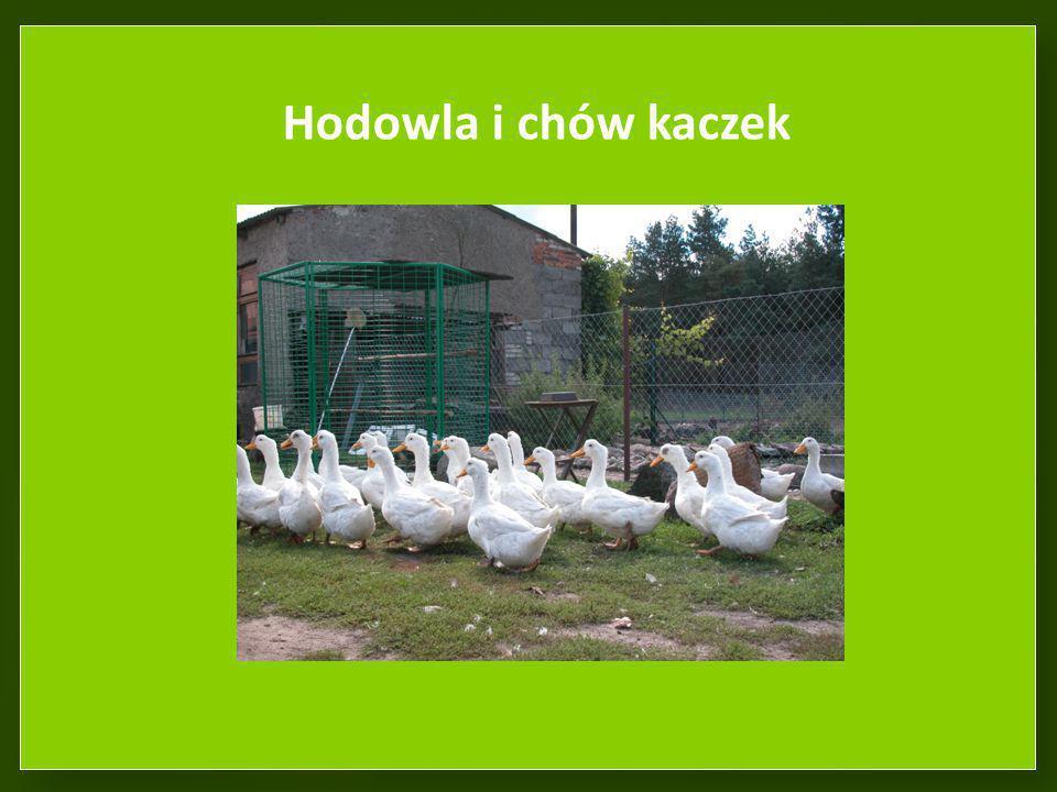 Hodowla i chów kaczek Stado kaczek typu pekin.