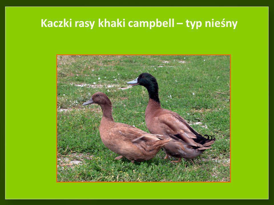 Kaczki rasy khaki campbell – typ nieśny