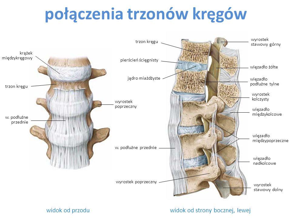 połączenia trzonów kręgów