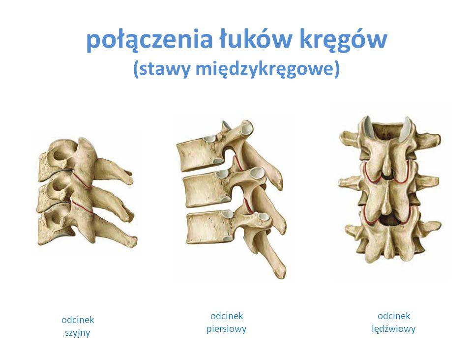 połączenia łuków kręgów (stawy międzykręgowe)