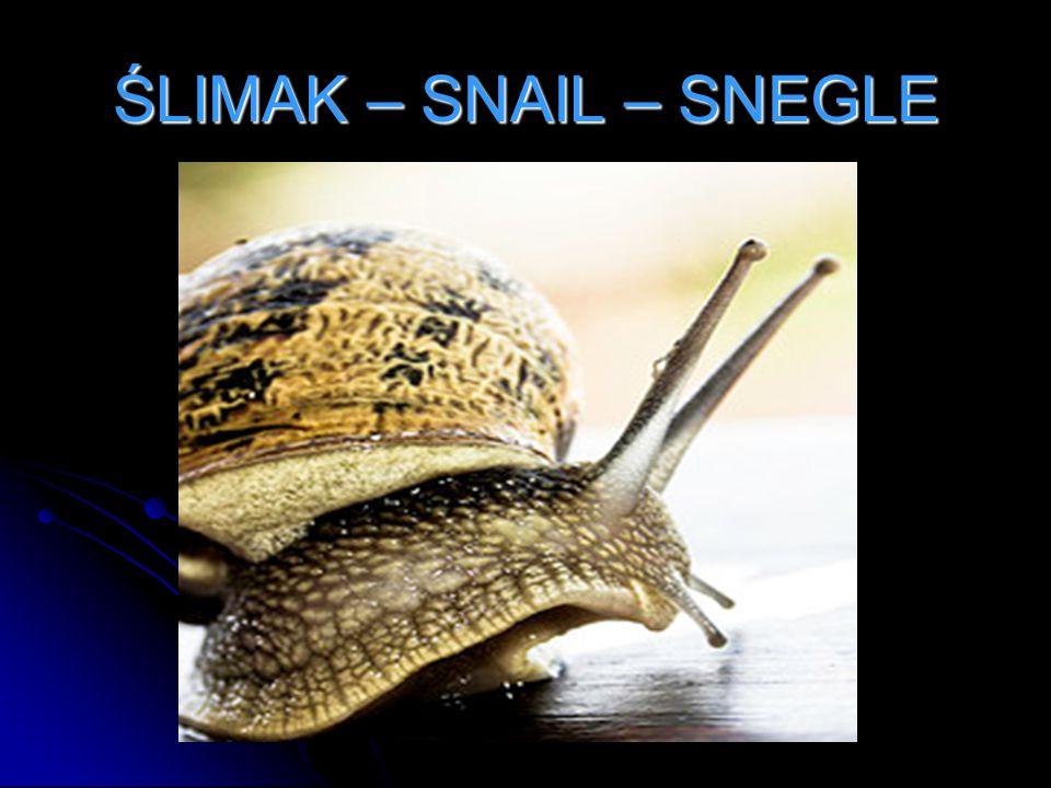 ŚLIMAK – SNAIL – SNEGLE