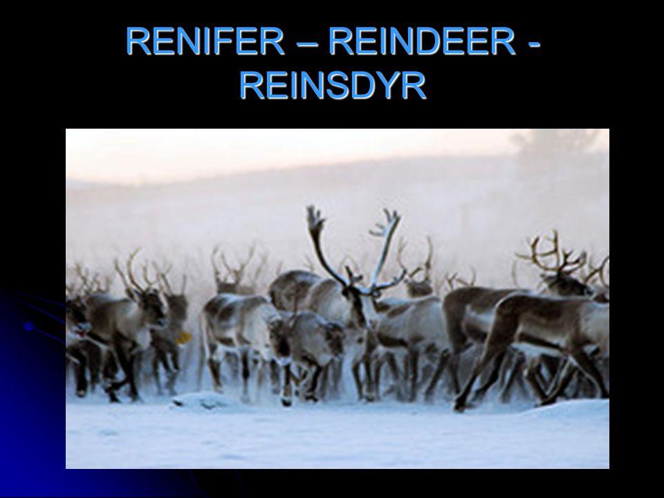 RENIFER – REINDEER - REINSDYR