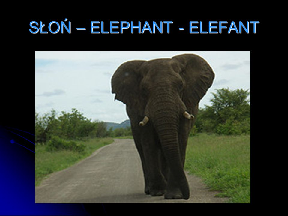 SŁOŃ – ELEPHANT - ELEFANT