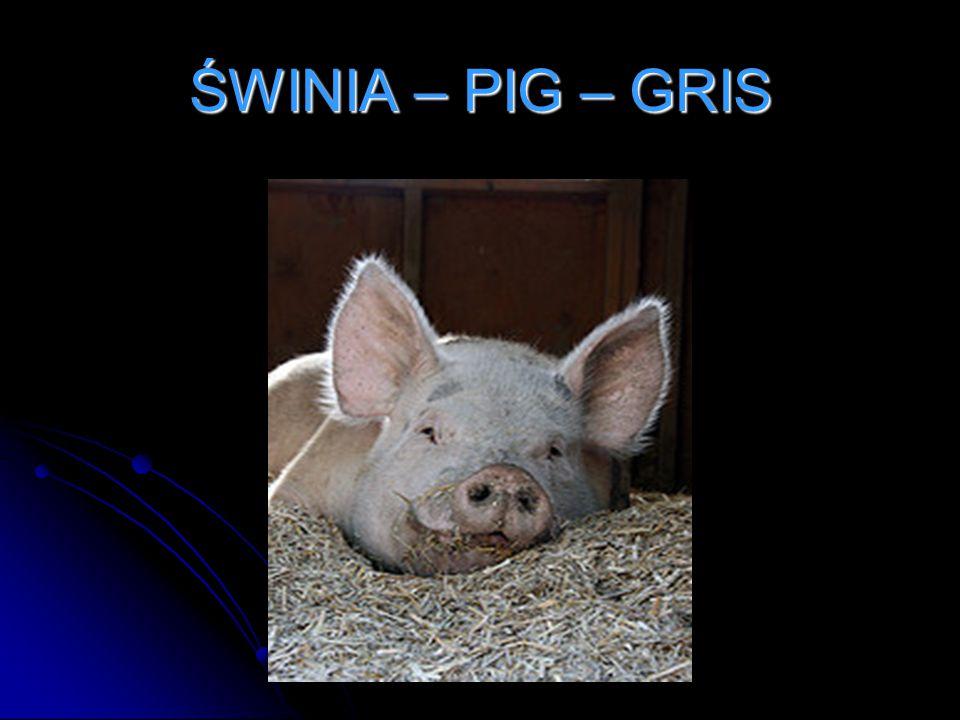 ŚWINIA – PIG – GRIS