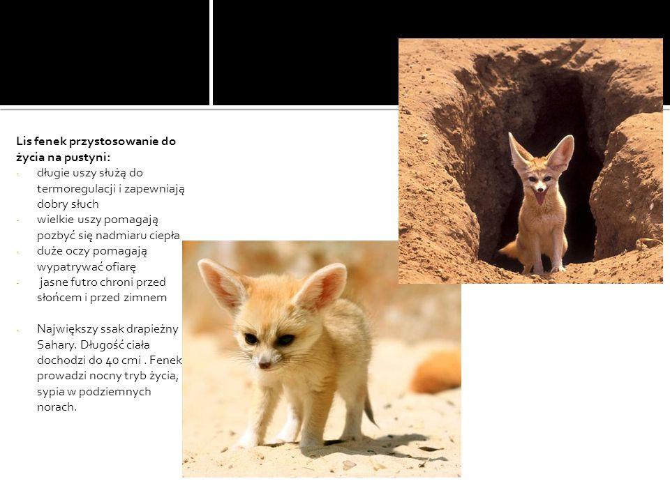 Lis fenek przystosowanie do życia na pustyni: