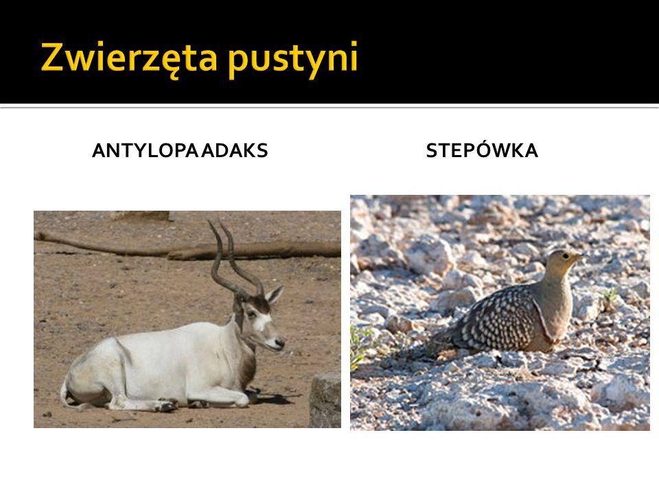 Zwierzęta pustyni Antylopa adaks stepówka