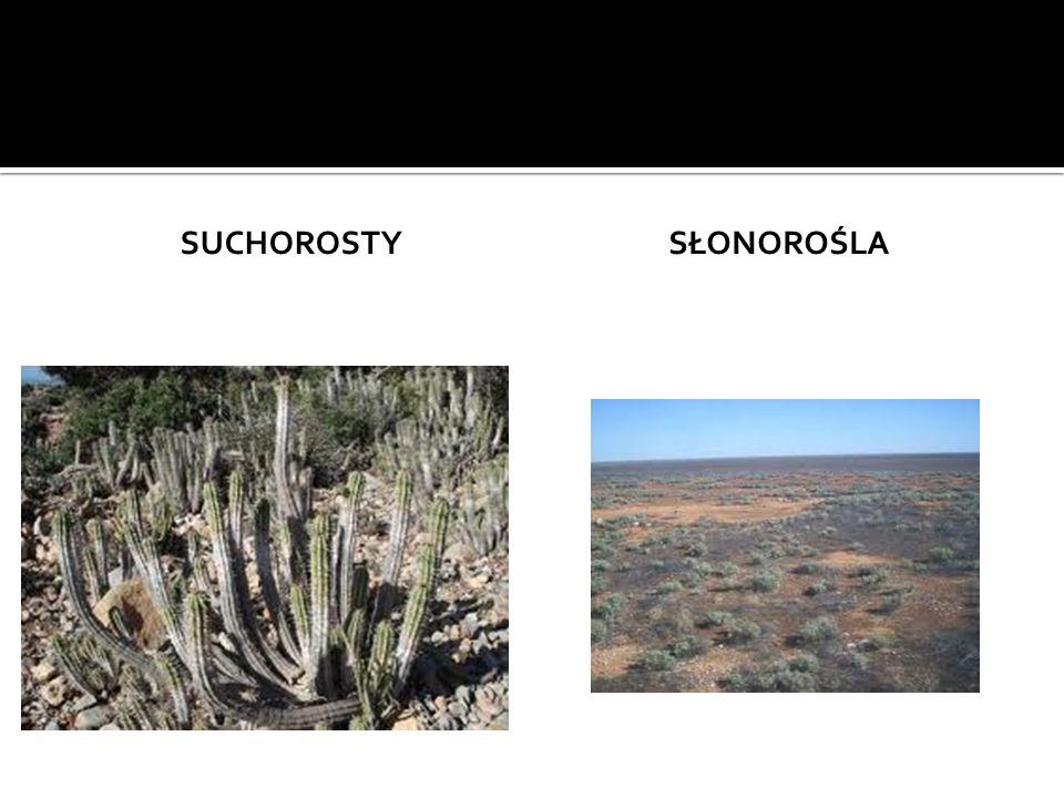 suchorosty Słonorośla