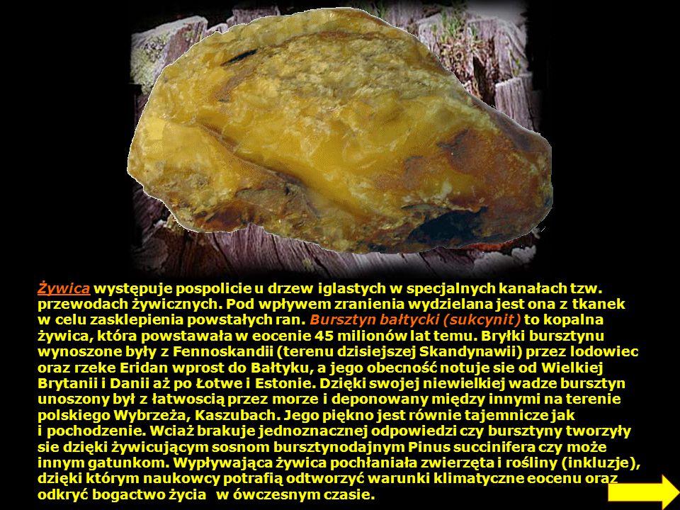 Żywica występuje pospolicie u drzew iglastych w specjalnych kanałach tzw. przewodach żywicznych. Pod wpływem zranienia wydzielana jest ona z tkanek w celu zasklepienia powstałych ran. Bursztyn bałtycki (sukcynit) to kopalna żywica, która powstawała w eocenie 45 milionów lat temu. Bryłki bursztynu wynoszone były z Fennoskandii (terenu dzisiejszej Skandynawii) przez lodowiec oraz rzeke Eridan wprost do Bałtyku, a jego obecność notuje sie od Wielkiej Brytanii i Danii aż po Łotwe i Estonie. Dzięki swojej niewielkiej wadze bursztyn unoszony był z łatwoscią przez morze i deponowany między innymi na terenie polskiego Wybrzeża, Kaszubach. Jego piękno jest równie tajemnicze jak i pochodzenie. Wciaż brakuje jednoznacznej odpowiedzi czy bursztyny tworzyły sie dzięki żywicującym sosnom bursztynodajnym Pinus succinifera czy może innym gatunkom. Wypływająca żywica pochłaniała zwierzęta i rośliny (inkluzje), dzięki którym naukowcy potrafią odtworzyć warunki klimatyczne eocenu oraz odkryć bogactwo życia w ówczesnym czasie.