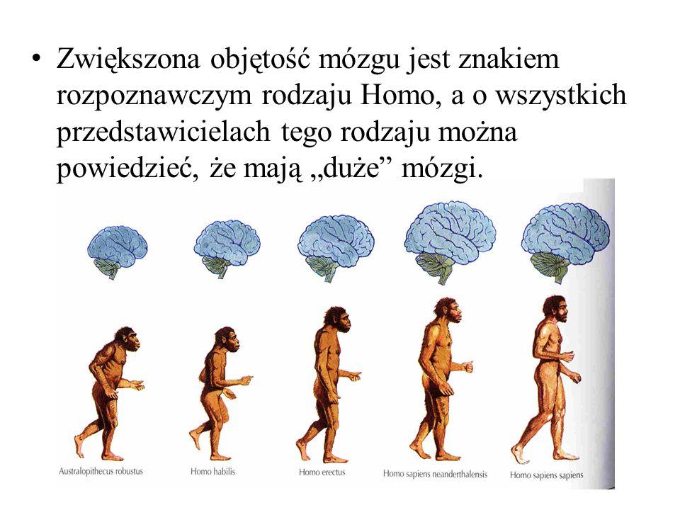 """Zwiększona objętość mózgu jest znakiem rozpoznawczym rodzaju Homo, a o wszystkich przedstawicielach tego rodzaju można powiedzieć, że mają """"duże mózgi."""