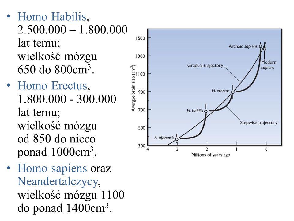 Homo Habilis, 2.500.000 – 1.800.000 lat temu; wielkość mózgu 650 do 800cm3.