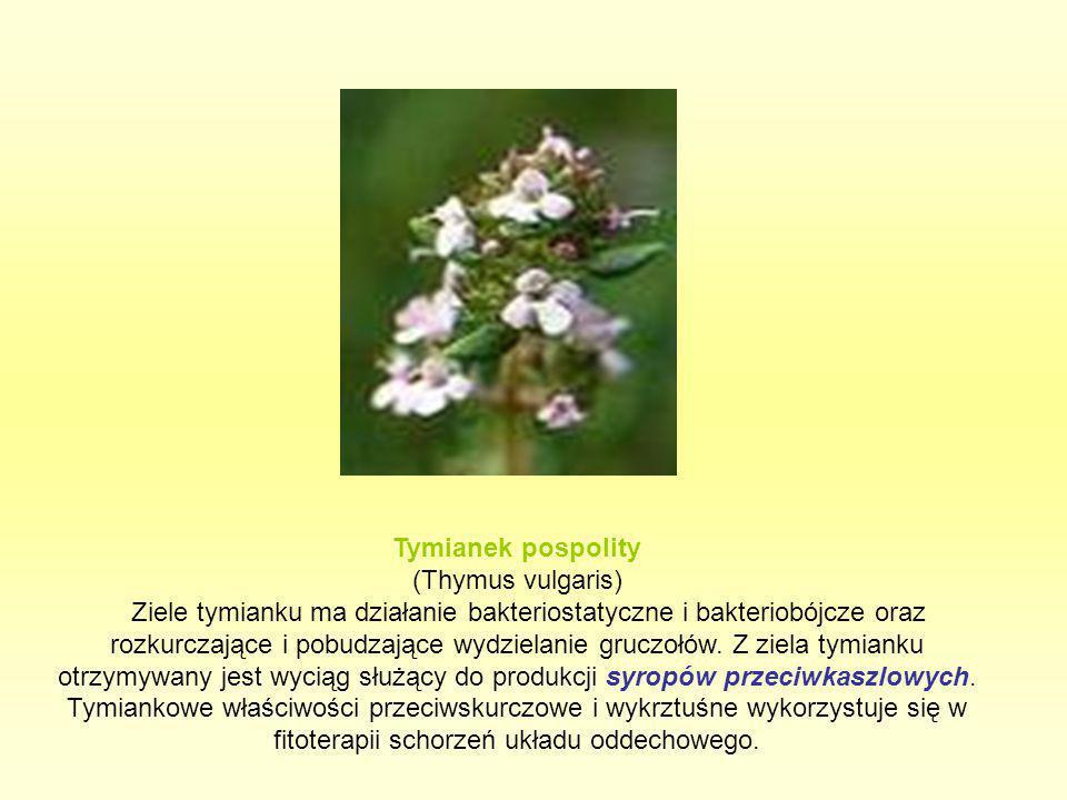Tymianek pospolity (Thymus vulgaris)