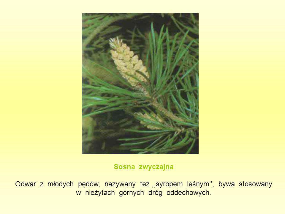Sosna zwyczajna Odwar z młodych pędów, nazywany też ,,syropem leśnym'', bywa stosowany w nieżytach górnych dróg oddechowych.