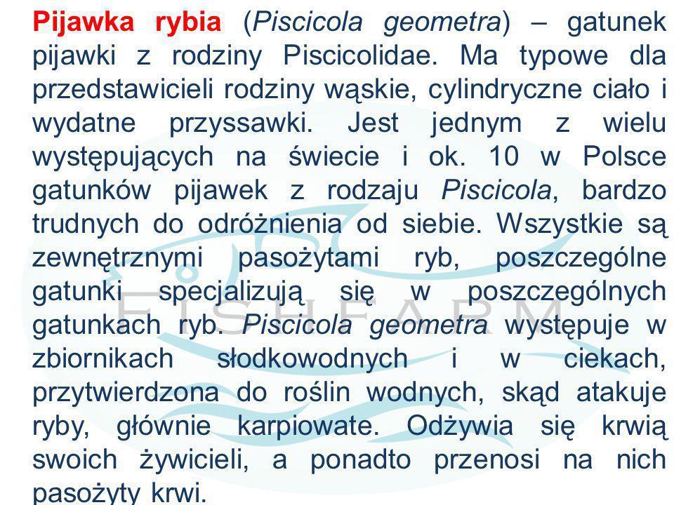 Pijawka rybia (Piscicola geometra) – gatunek pijawki z rodziny Piscicolidae.