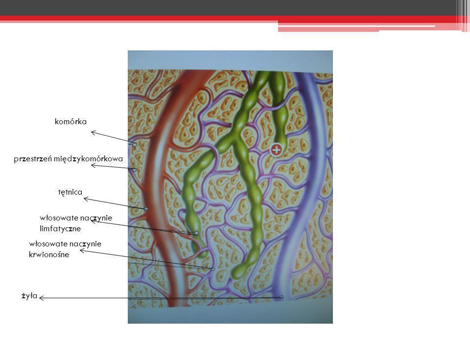 komórka przestrzeń międzykomórkowa. tętnica. włosowate naczynie limfatyczne. włosowate naczynie krwionośne.