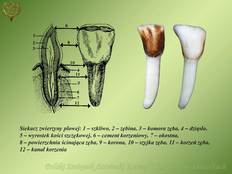 Siekacz zwierzyny płowej: 1 – szkliwo, 2 – zębina, 3 – komora zęba, 4 – dziąsło, 5 – wyrostek kości szczękowej, 6 – cement korzeniowy, 7 – okostna, 8 – powierzchnia ścinająca zęba, 9 – korona, 10 – szyjka zęba, 11 – korzeń zęba, 12 – kanał korzenia