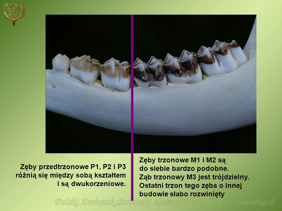 Zęby trzonowe M1 i M2 są do siebie bardzo podobne