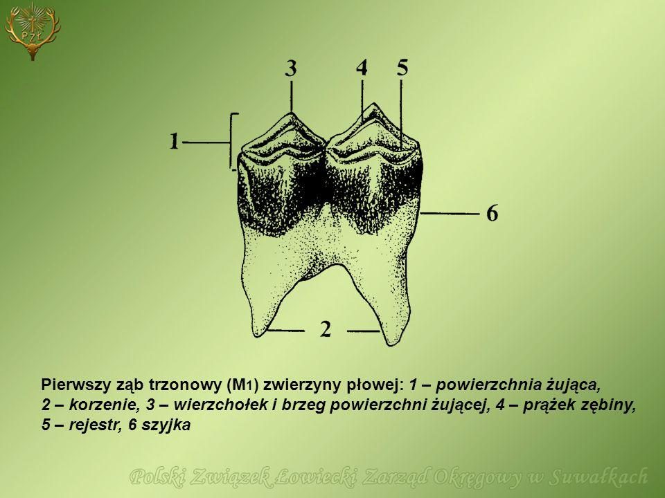Pierwszy ząb trzonowy (M1) zwierzyny płowej: 1 – powierzchnia żująca, 2 – korzenie, 3 – wierzchołek i brzeg powierzchni żującej, 4 – prążek zębiny, 5 – rejestr, 6 szyjka