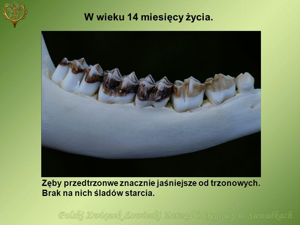 W wieku 14 miesięcy życia. Zęby przedtrzonwe znacznie jaśniejsze od trzonowych.