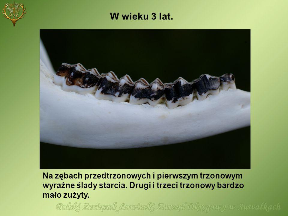 W wieku 3 lat. Na zębach przedtrzonowych i pierwszym trzonowym wyraźne ślady starcia.