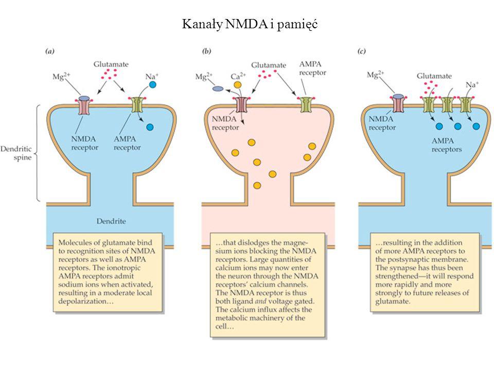 Kanały NMDA i pamięć