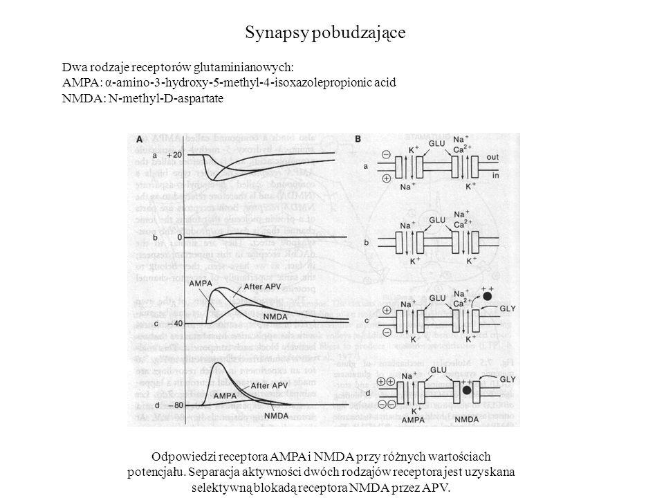 Synapsy pobudzające Dwa rodzaje receptorów glutaminianowych: