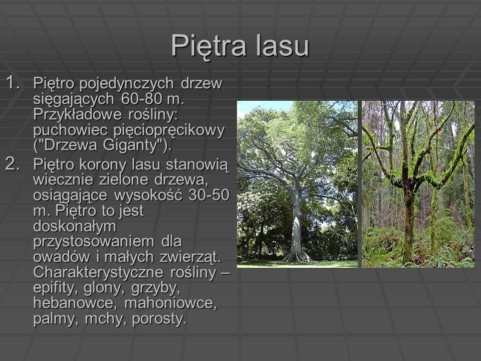 Piętra lasu Piętro pojedynczych drzew sięgających 60-80 m. Przykładowe rośliny: puchowiec pięciopręcikowy ( Drzewa Giganty ).