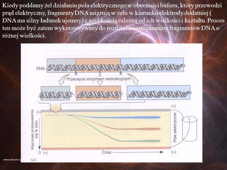 Kiedy poddamy żel działaniu pola elektrycznego w obecności buforu, który przewodzi prąd elektryczny, fragmenty DNA migrują w żelu w kierunku elektrody dodatniej ( DNA ma silny ładunek ujemny) z szybkością zależną od ich wielkości i kształtu.
