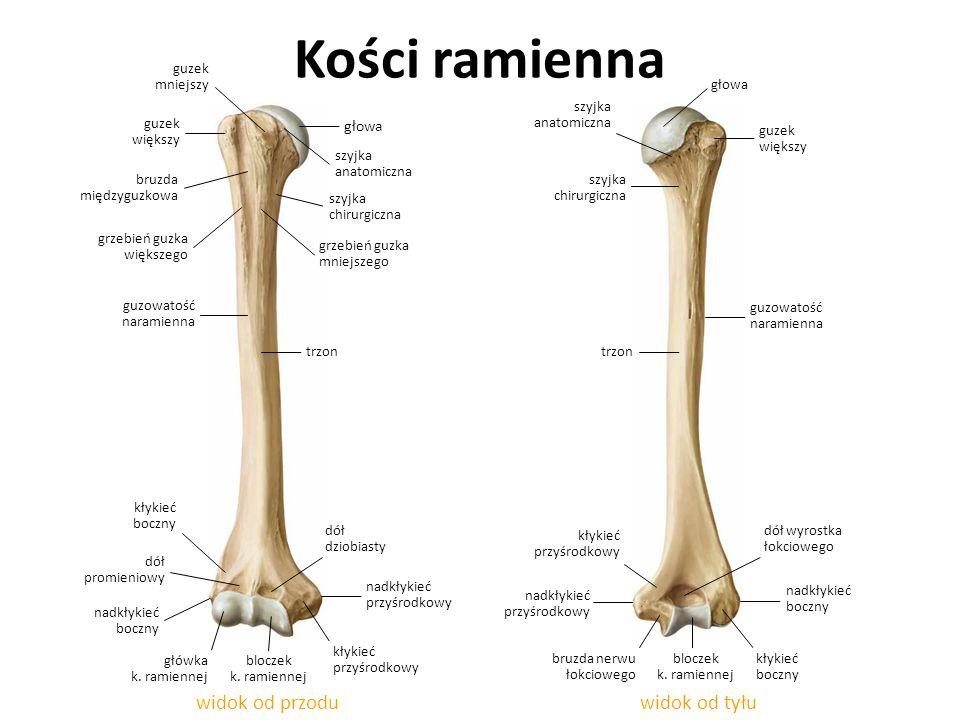 Kości ramienna widok od przodu widok od tyłu głowa guzek mniejszy