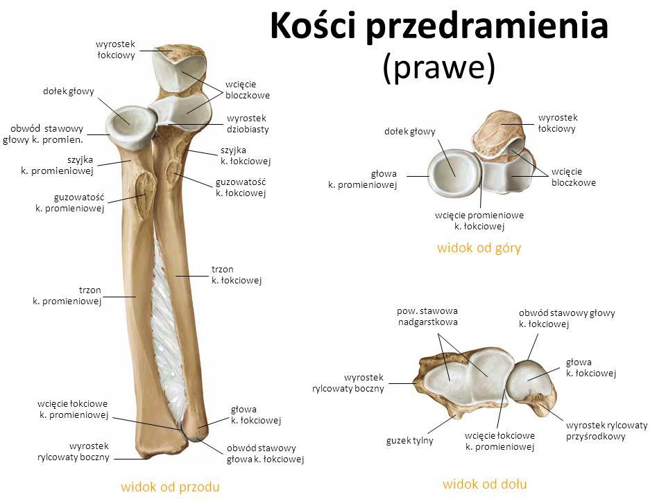 Kości przedramienia (prawe)