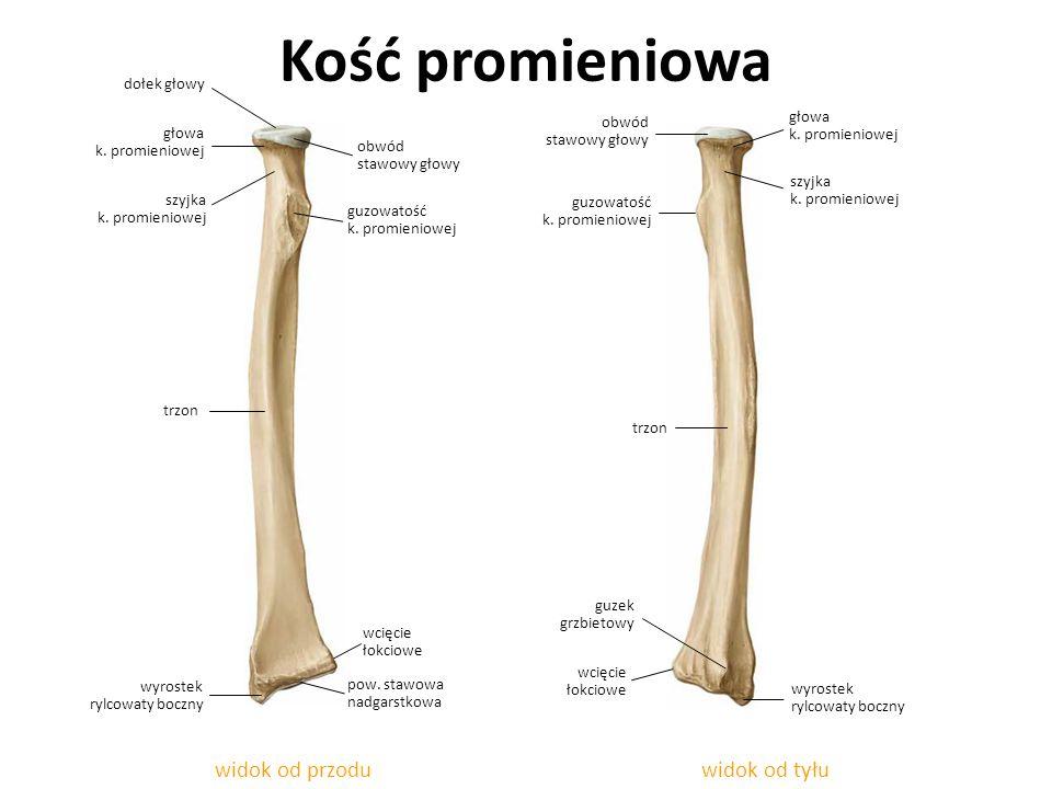 Kość promieniowa widok od przodu widok od tyłu dołek głowy obwód