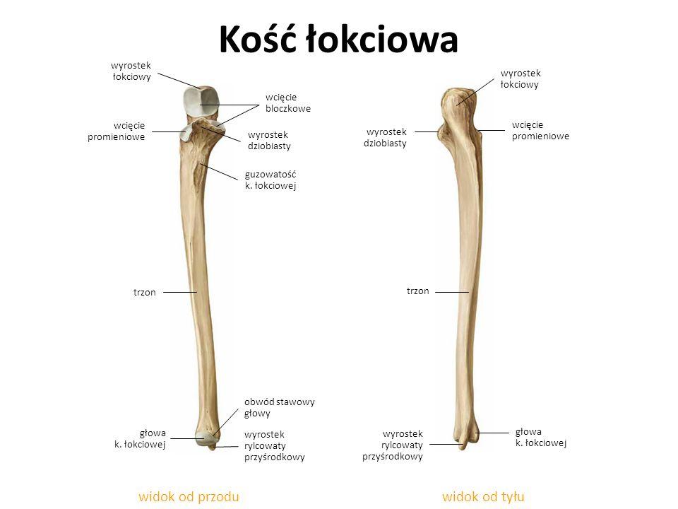 Kość łokciowa widok od przodu widok od tyłu wyrostek łokciowy