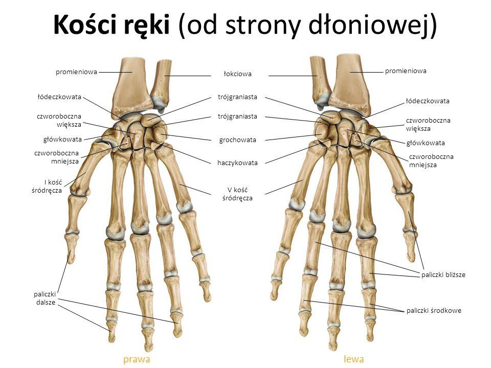 Kości ręki (od strony dłoniowej)