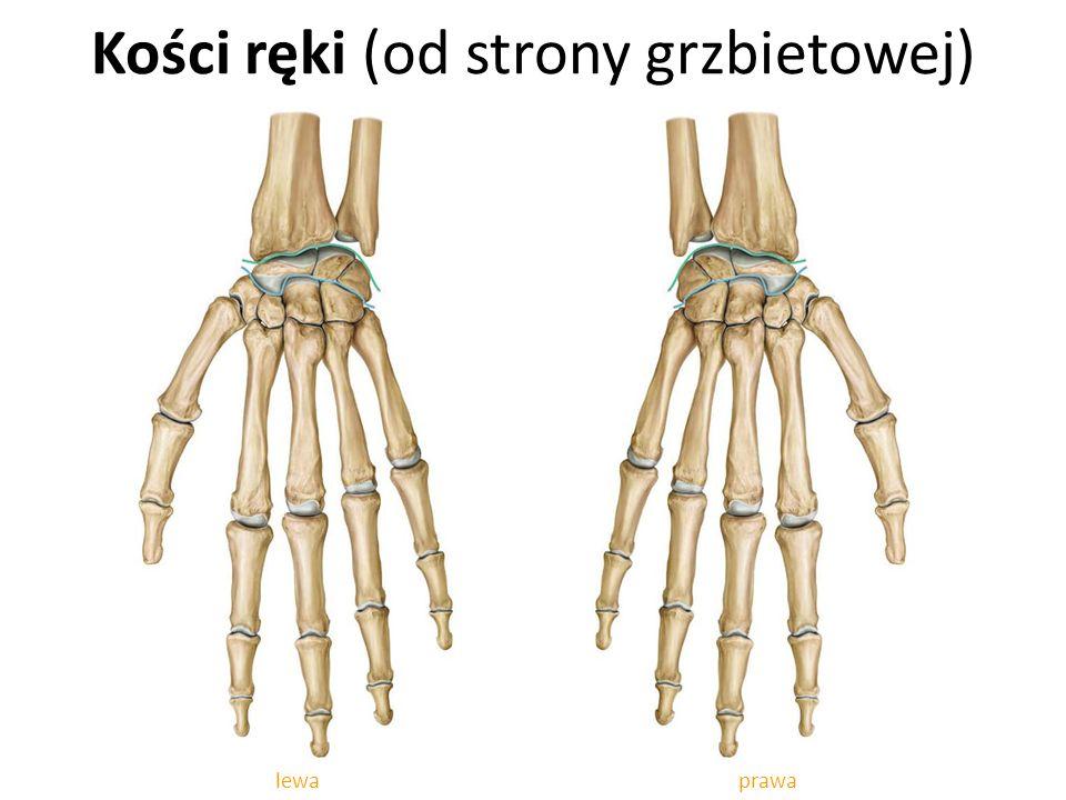 Kości ręki (od strony grzbietowej)