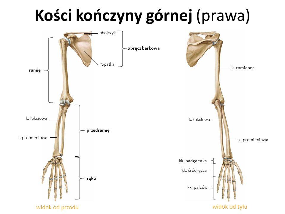 Kości kończyny górnej (prawa)