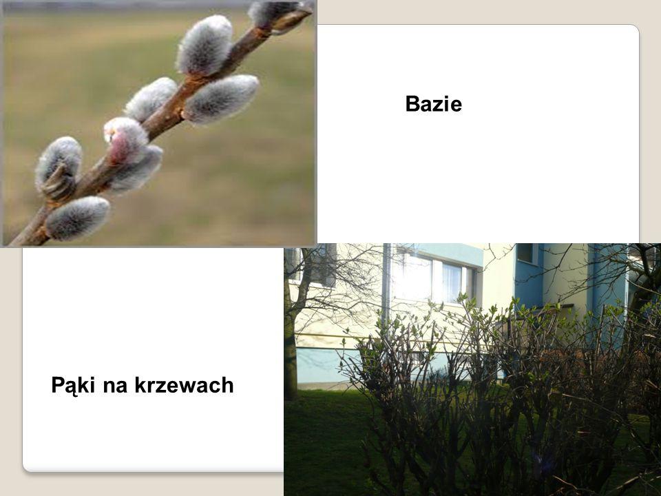 Bazie Pąki na krzewach