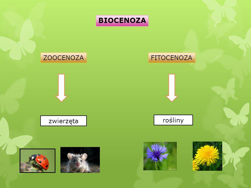 BIOCENOZA ZOOCENOZA FITOCENOZA zwierzęta rośliny