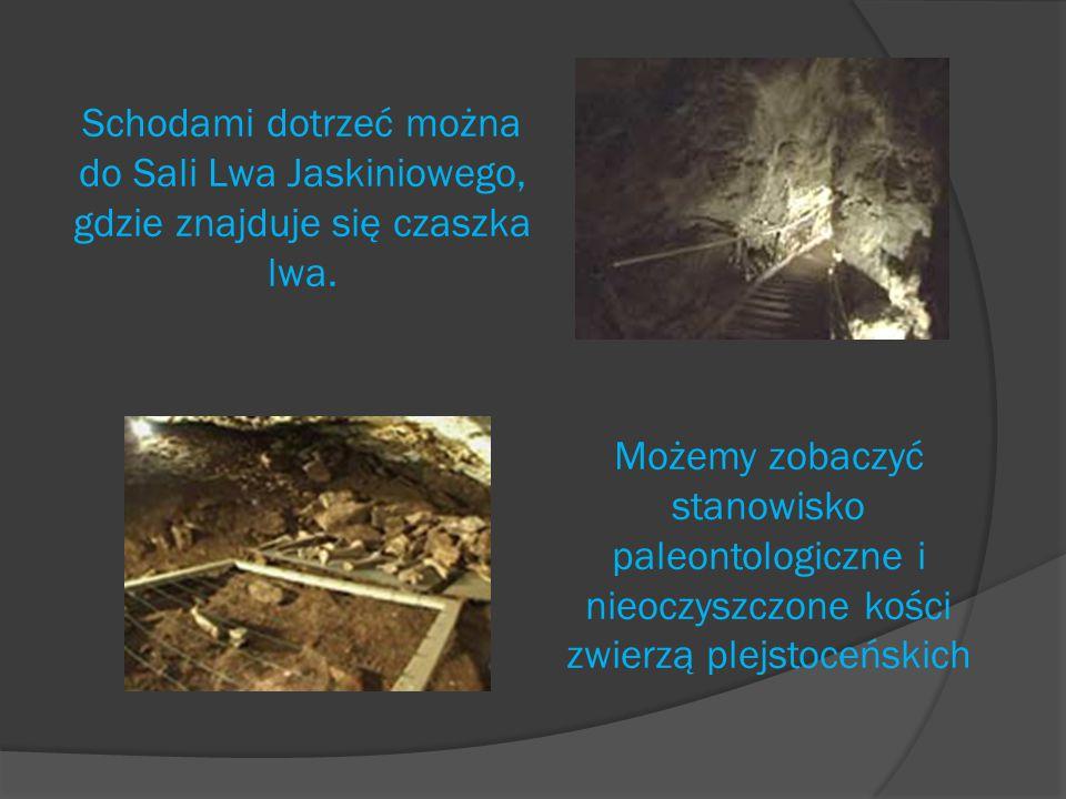 Schodami dotrzeć można do Sali Lwa Jaskiniowego, gdzie znajduje się czaszka lwa.