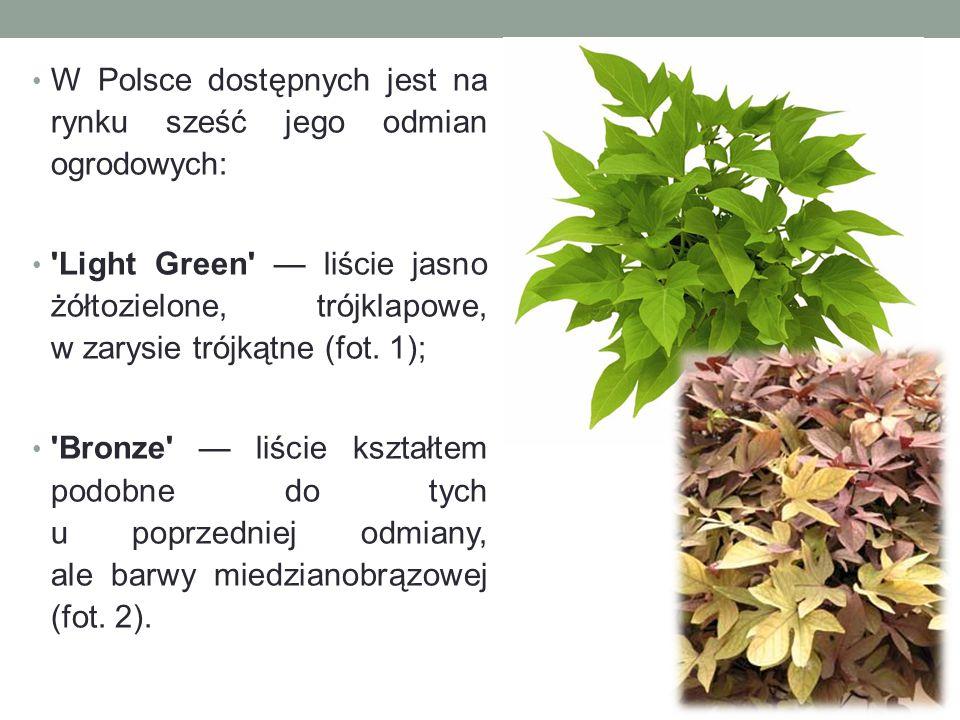 W Polsce dostępnych jest na rynku sześć jego odmian ogrodowych: