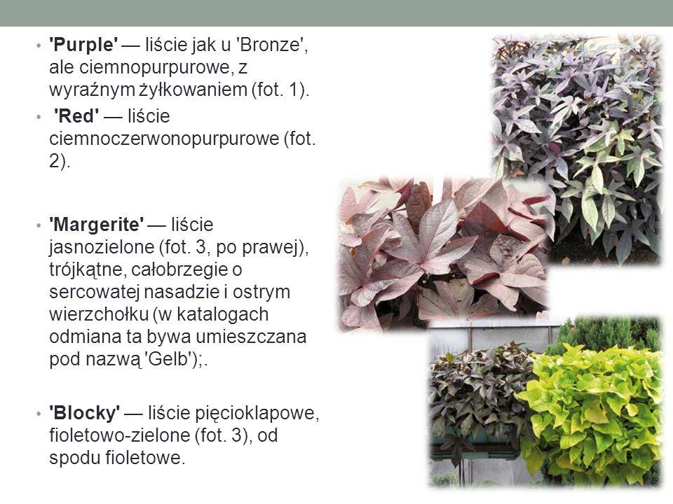 Purple — liście jak u Bronze , ale ciemnopurpurowe, z wyraźnym żyłkowaniem (fot. 1).